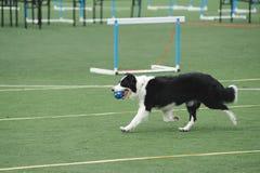 De hond van de Collie van de grens het lopen stock afbeeldingen