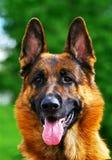 De hond van de Duitse herder Stock Foto