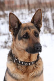 De hond van de Duitse herder Stock Afbeeldingen
