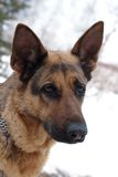 De hond van de Duitse herder Royalty-vrije Stock Afbeeldingen