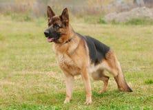 De hond van de Duitse herder royalty-vrije stock foto