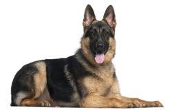 De Hond van de Duitse herder, 8 maanden oud, het liggen Royalty-vrije Stock Foto's