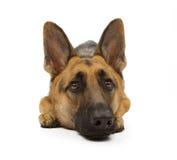 De Hond van de Duitse herder die op Wit wordt geïsoleerdr royalty-vrije stock foto's