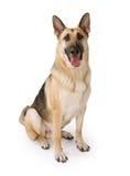 De Hond van de Duitse herder die op Wit wordt geïsoleerdr Stock Foto
