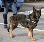 De hond van de Duitse herderpolitie terwijl het patrouilleren van de stadsstraten Royalty-vrije Stock Foto
