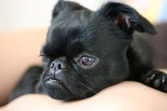 De hond van de duivel Royalty-vrije Stock Foto's
