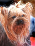 De hond van de elite voor rijken royalty-vrije stock foto