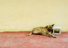 De Hond van de escapist B1 Stock Foto's