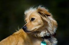De hond van de familie Royalty-vrije Stock Afbeeldingen
