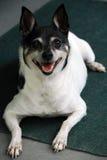 De Hond van de fox-terrier stock foto's