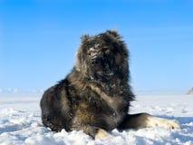 De Hond van de herder Stock Afbeeldingen