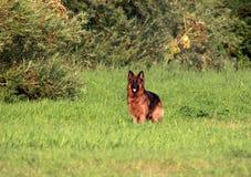 De hond van de herder Royalty-vrije Stock Foto's