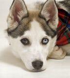 De hond van de herder Royalty-vrije Stock Fotografie