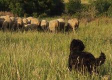 De hond van de herder stock foto