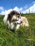De hond van de herder in het groene gras Royalty-vrije Stock Foto