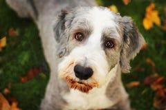 De hond van de herfst royalty-vrije stock afbeeldingen