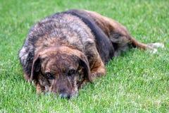 De hond van de hond in het gras Stock Afbeeldingen