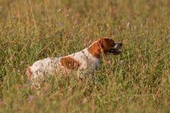 De hond van de jacht het richten Stock Foto