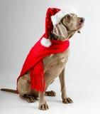 De hond van de kerstman Stock Afbeeldingen