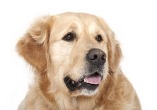 De hond van de labrador Royalty-vrije Stock Fotografie