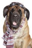 De hond van de mastiff met de glazen van de Motorfiets royalty-vrije stock fotografie