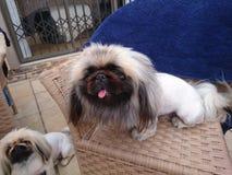 De hond van de pekinees Stock Afbeelding