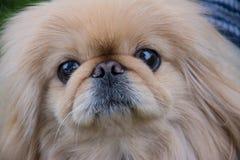 De hond van de pekinees Stock Foto's