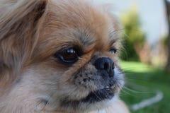 De hond van de pekinees Royalty-vrije Stock Foto