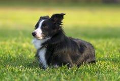 De hond van de pensionaircollie het spelen Stock Foto
