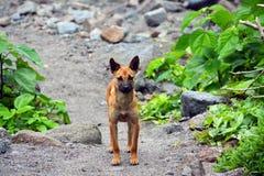 De hond van de Pinatubolava Stock Afbeelding