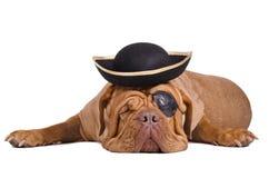De hond van de piraat met oogflard, zwarte en gouden hoed Stock Foto