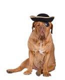 De hond van de piraat met zwart en gouden hoed en oogflard Stock Fotografie