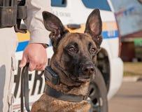 De hond van de politie klaar voor het werk Stock Fotografie