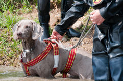 De hond van de redding opleiding Stock Foto's