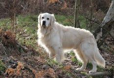 De hond van de retriever in een bos Royalty-vrije Stock Afbeeldingen