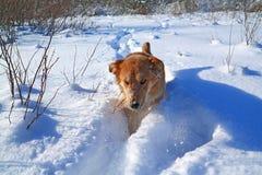 De hond van de roodharige Royalty-vrije Stock Afbeeldingen