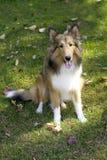 De Hond van de Schapen van Shetland Royalty-vrije Stock Foto's