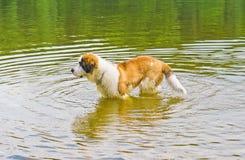 De Hond van de sint-bernard in Water Royalty-vrije Stock Fotografie