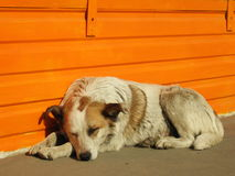De hond van de slaap Stock Foto