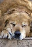 De hond van de slaap Stock Foto's