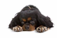 De hond van de slaap Royalty-vrije Stock Foto