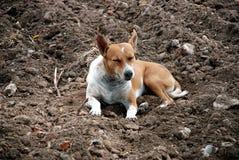 De hond van de slaap Stock Fotografie