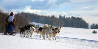 De hond van de slee Royalty-vrije Stock Foto