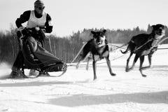 De hond van de slee Royalty-vrije Stock Afbeeldingen