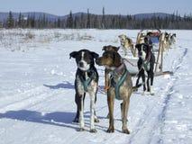 De hond van de slee in Alaska royalty-vrije stock foto's