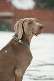 De Hond van de sneeuw stock foto's