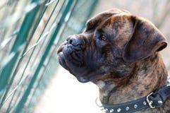 De hond van de stierenmastiff Royalty-vrije Stock Afbeeldingen
