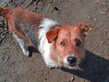 De hond van de straathond Royalty-vrije Stock Afbeeldingen
