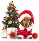 De hond van de tekkel royalty-vrije stock foto
