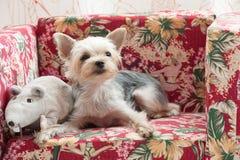 De hond van de terriër Royalty-vrije Stock Foto's